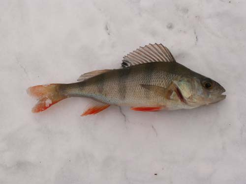 Redfin Perch (Perca fluviatilis)