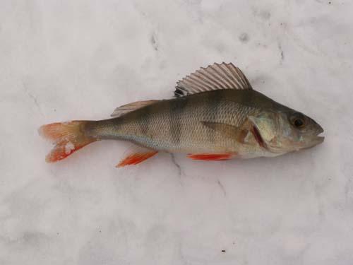 Redfin Perch | Perca fluviatilis photo
