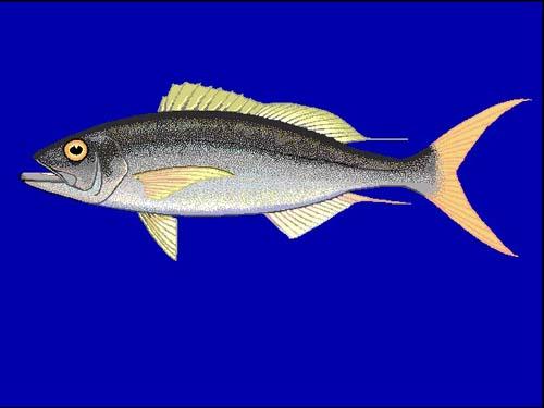 Rusty Jobfish   Aphareus rutilans photo