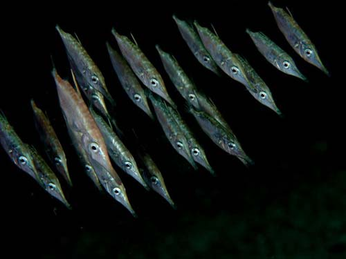 Common Snipefish | Macroramphosus scolopax photo