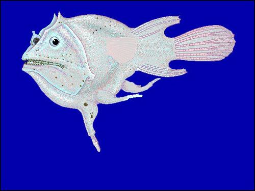 Soft Leafvent Angler | Haplophryne mollis photo