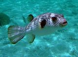 Narrow-lined Pufferfish