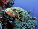 Map Pufferfish