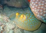 Blue-spotted Fantail Ray