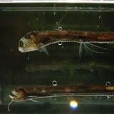 Sloan's Viperfish