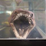 Frill Shark