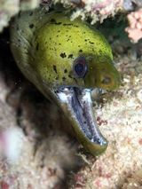 Fimbriate Moray