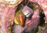 Greyface Moray Eel