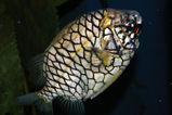 Pineapplefish