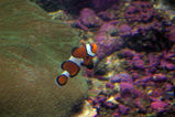 Clown Anemonefish (Clownfish)