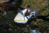 Hawaiian Triggerfish