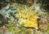 Thorny-back Cowfish