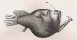 Murray's Abyssal Anglerfish