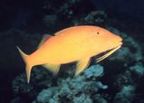 Goldsaddle Goatfish