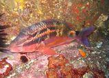 Black-spot Goatfish