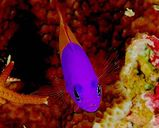 Two-tone Dottyback