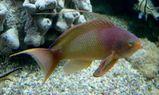 Scalefin Anthias