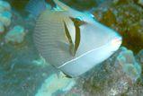 Boomerang Triggerfish