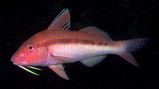 Blue-lined Goatfish