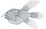 Fanfin Anglerfish