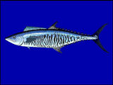 Narrow-barred Spanish Mackerel