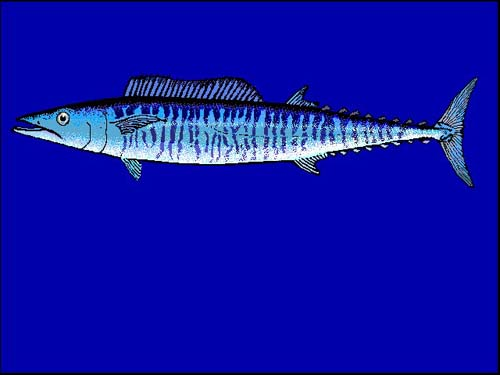 Wahoo | Acanthocybium solandri photo