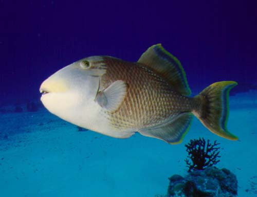Yellowmargin Triggerfish | Pseudobalistes flavimarginatus photo