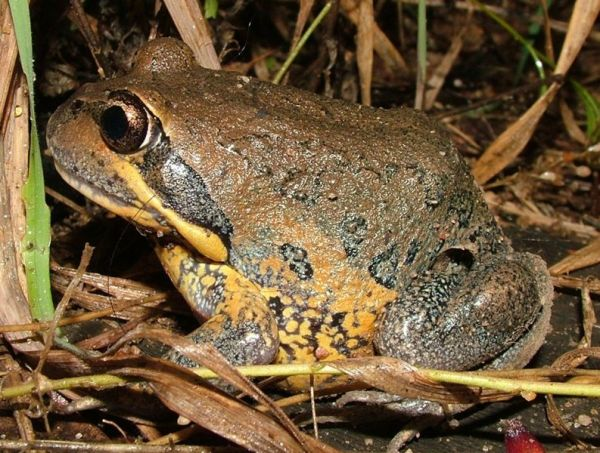 Northern Banjo Frog | Limnodynastes terraereginae photo