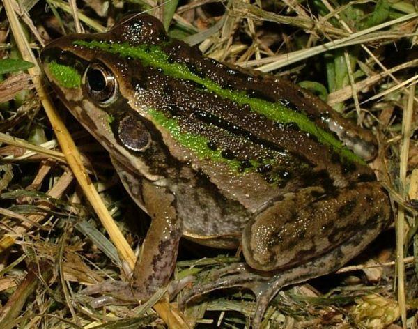 Striped Burrowing Frog | Litoria alboguttata photo