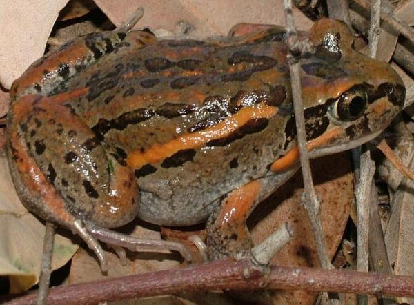 Salmon-striped Frog | Limnodynastes salmini photo