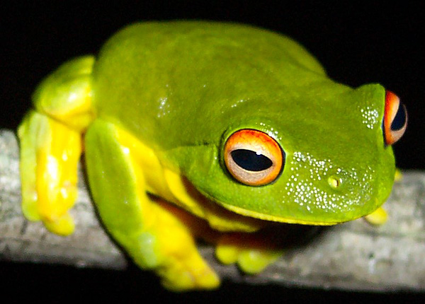 Red-eyed Tree Frog | Litoria chloris photo