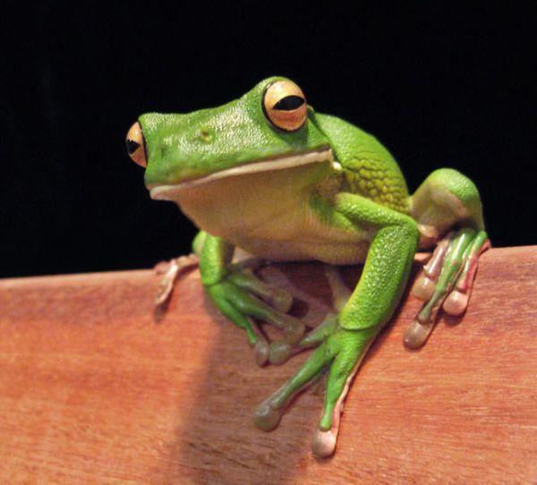 Giant Tree Frog | Litoria infrafrenata photo