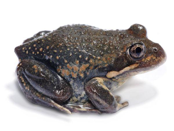 Eastern Banjo Frog   Limnodynastes dumerili photo