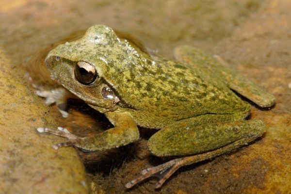 Lesueur's Tree Frog | Litoria lesueuri photo