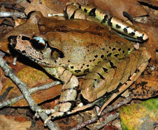 Fleay's Barred Frog | Mixophyes fleayi photo