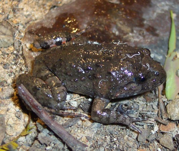 Tusked Frog | Adelotus brevis photo