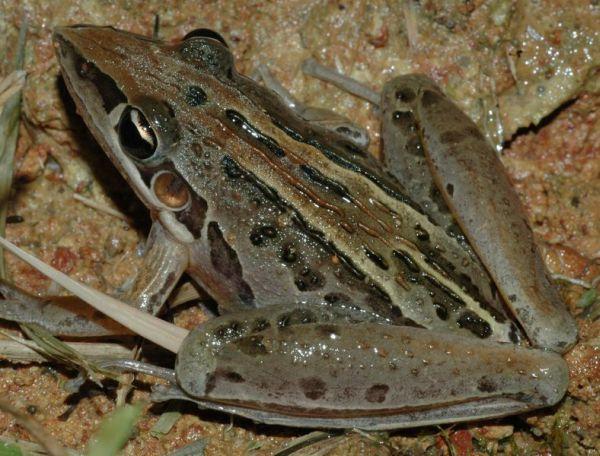 Rocket Frog | Litoria nasuta photo
