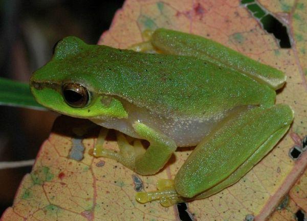 Pearson's Tree Frog | Litoria pearsoniana photo