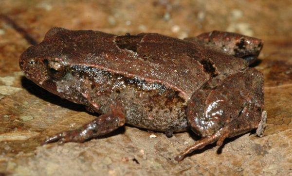 Pouched Frog   Assa darlingtoni photo