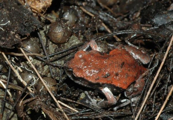 Red-backed Toadlet | Pseudophryne coriacea photo
