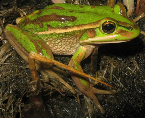 Green and Golden Bell Frog   Litoria aurea photo