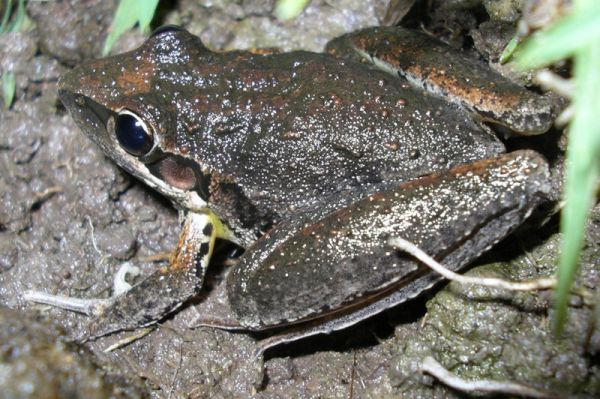 Broad-palmed Frog | Litoria latopalmata photo