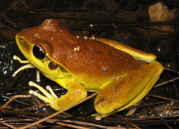 Stoney Creek Frog | Litoria wilcoxi photo