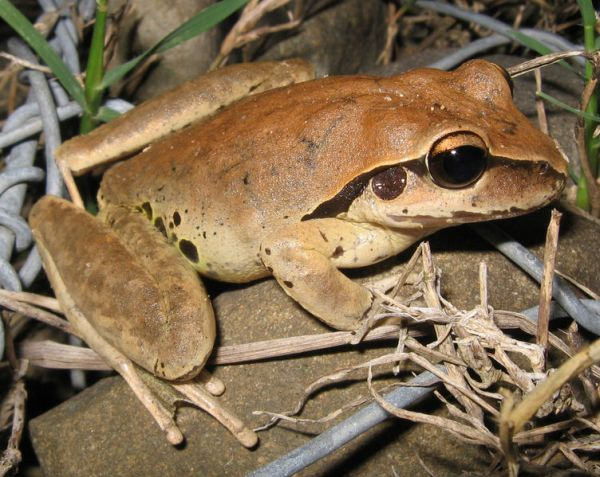 Stoney Creek Frog   Litoria wilcoxi photo