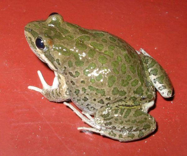 Spotted Marsh Frog | Limnodynastes tasmaniensis photo