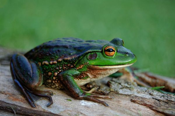 Growling Grass Frog | Litoria raniformis photo