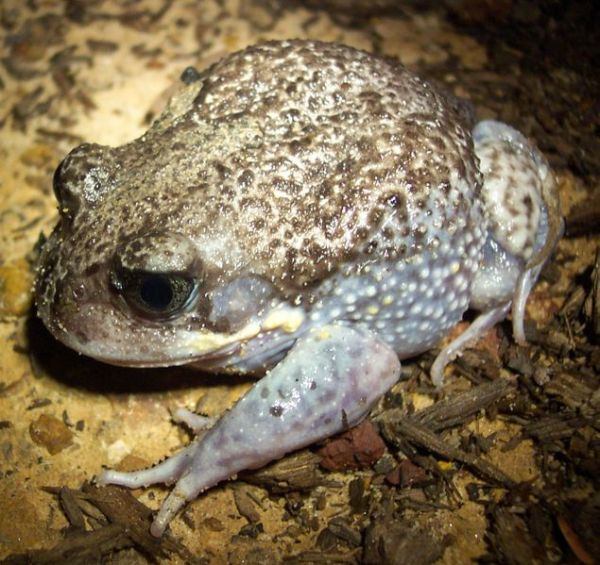 Giant Burrowing Frog | Heleioporus australiacus photo