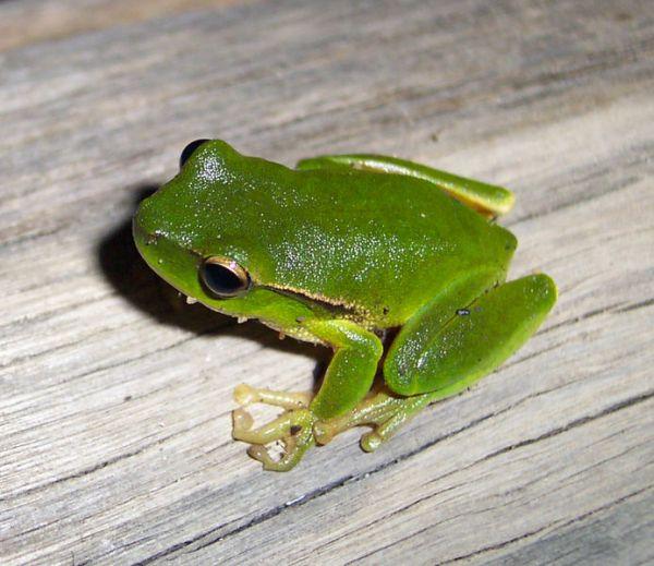 Green Stream Frog   Litoria phyllochroa photo