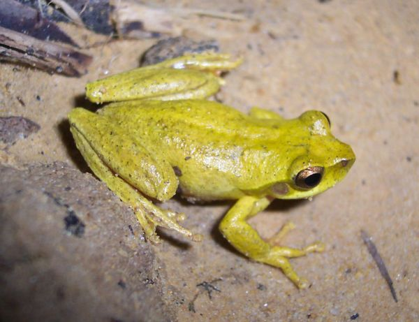 Whirring Tree Frog | Litoria revelata photo