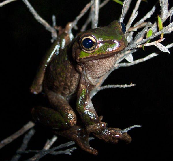 Tasmanian Tree Frog | Litoria burrowsae photo